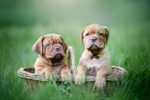 Puppies Dogue De Bordeaux Outd...
