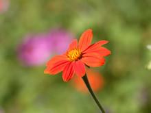 (Gerbera) Gerbéra Apprécié Pour Ses Grandes Et Jolies Fleurs Aux Couleurs Chatoyantes Dans Un Feuillage Touffu, Lobé Et Lancéolé Vert