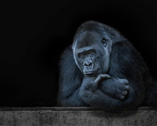 Leader Gorilla Thinking, Black...
