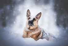 German Shepherd Dog In Natural...
