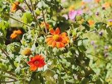 (Gerbera) Gerbéra Apprécié Pour Ses Jolies Fleurs Orange Dans Un Feuillage Touffu, Lobé Et Lancéolé Vert