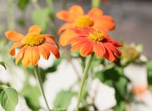 (Gerbera) Fleurs De Gerbéra Aux Pétales Orange Foncé