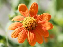 (Gerbera)  Gros Plan Sur Fleurs De Gerbéra Aux Pétales Orange Foncé