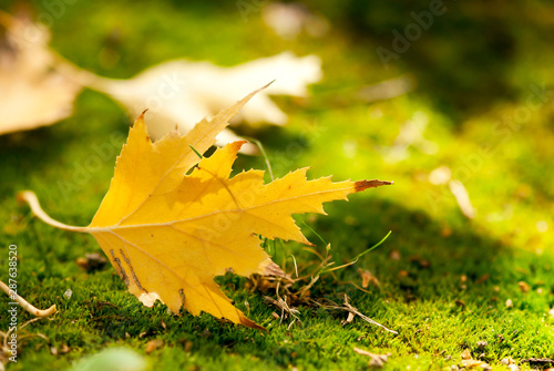 Yellow Maple Leaf on Moss