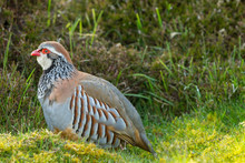 Partridge, (Scientific Name: Alectoris Rufa) Red-legged Or French Partridge In Natural Moorland Habitat.  Facing Left.  Horizontal.  Space For Copy.