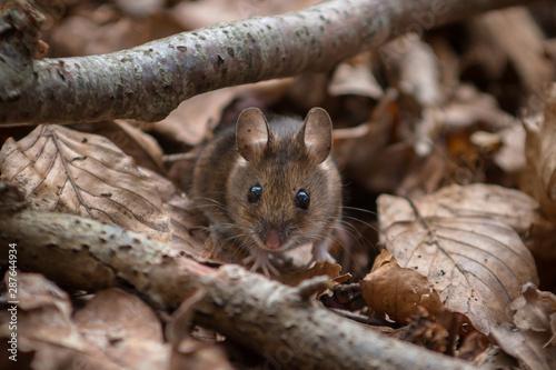 Fotografía  Wood Mouse - Apodemus sylvaticus - looking straight at you