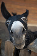 Funny Muzzle Of Dark Donkey Appealingly Looking On You In A Zoo