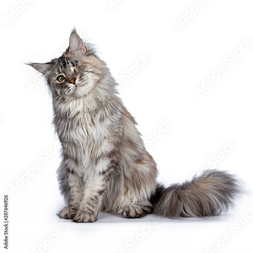 One eyed grey Maine Coon Cat sitting with his head tilted.  Isolated on white background. Wall mural