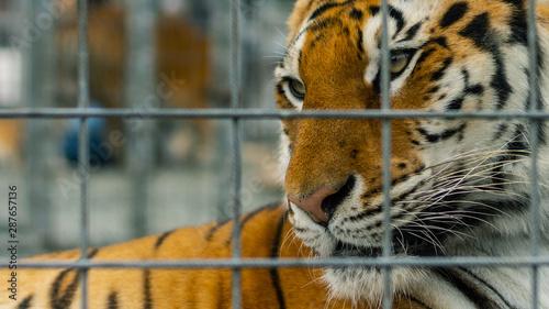 Fotografie, Obraz  lonely sad tiger no freedom in the cage