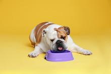 Adorable Funny English Bulldog With Feeding Bowl On Yellow Background