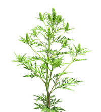 Blooming Ragweed Plant (Ambrosia Genus) On White Background. Seasonal Allergy