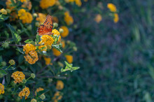 Mini Yellow Lantana With Butterfly On The Flower