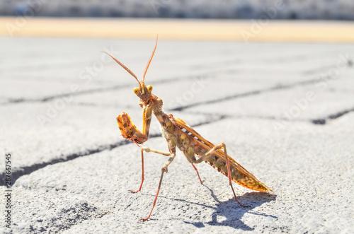 Fotografie, Obraz  Insect Mantis Religiosa
