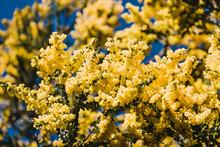 Native Australian Wattle Tree ...