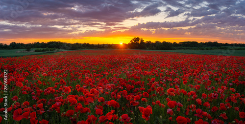 Foto auf Gartenposter Violett rot sunset over the meadow of magnificent red poppies