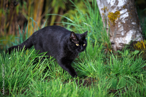 Black Cat on the Prowl in the Yard