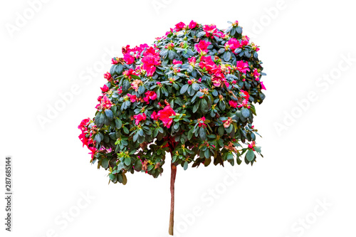 Spoed Foto op Canvas Azalea Beautiful pink Rhododendron flower isolated on white background.Saved with clipping path.