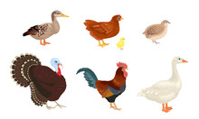 Farm Birds Set Isolated On White Background. Poultry Yard. Vector Illustration Of A Turkey, Goose, Duck, Quail, Rooster And Chicken With Little Chick In Cartoon Simple Flat Style.