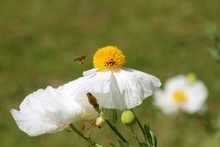 Romneya Coulteri - Californian Tree Poppy. Blossoms On A Garden Bed.  Bright Yellow Stamens.