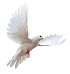 free flying white dove isol...