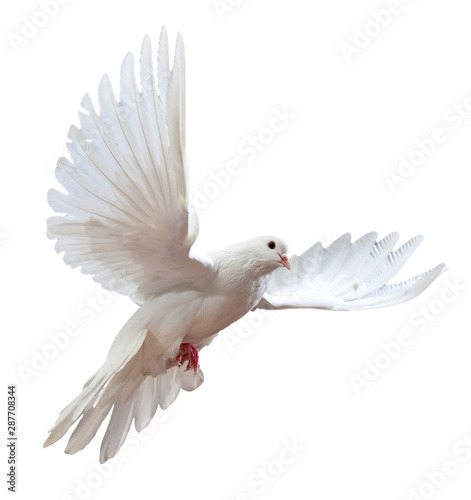 free flying white dove isol...