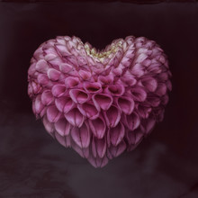 Close Up Of Dahlia In Heart Shape