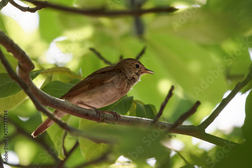 Fototapeta nightingale (Luscinia megarhynchos) perching in a tree against green leaves, sma