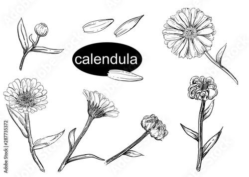 Fotografía  Detailed hand drawn vector illustration set of calendula flower, seeds