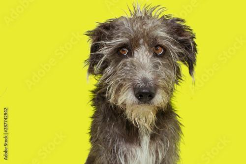 Obraz na plátně  Funny furry dog disheveled isolated on yellow background.