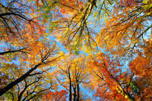 Colorful Tree Canopy And Blue Sky In Autumn