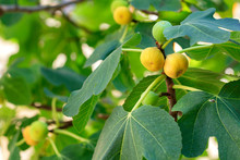 Fruits Of Ripe Yellow Figs On A Young Light Green Tree
