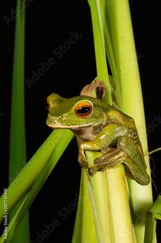 Pauliani's Dagger Frog against Black background