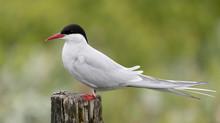 Beautiful Arctic Tern In Iceland