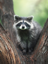 Raccoon On A Branch. Outdoor