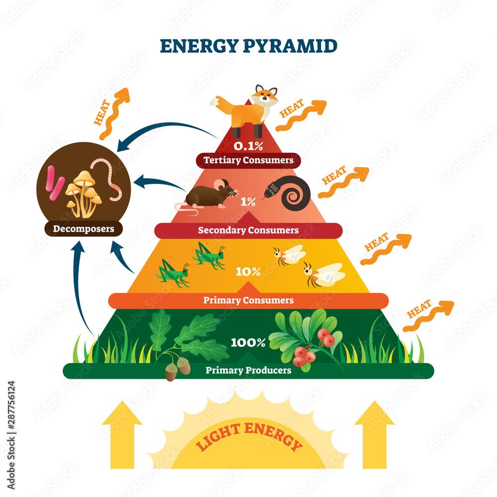 Fototapeta Energy pyramid vector illustration. Labeled biomass representation graphic.