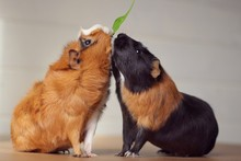 Two Guinea Pigs Eating A Leaf