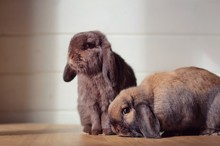 Two Lop Eared Rabbits