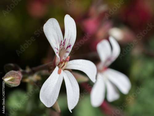 Close-up macro of small white flower and the anthers of the Nutmeg pelargonium ( Wallpaper Mural