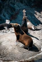 California Sea Lions On The Rocks Of Isla Coronado
