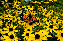 Monarch Butterfly On Yellow Flowers In The Fall