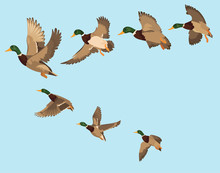 A Flock Of Ducks. A Cartoon Fl...