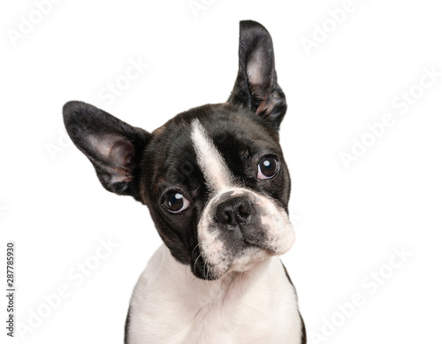 Fototapeta Boston terrier puppy isolated on white for copy space use - studio shot obraz na płótnie