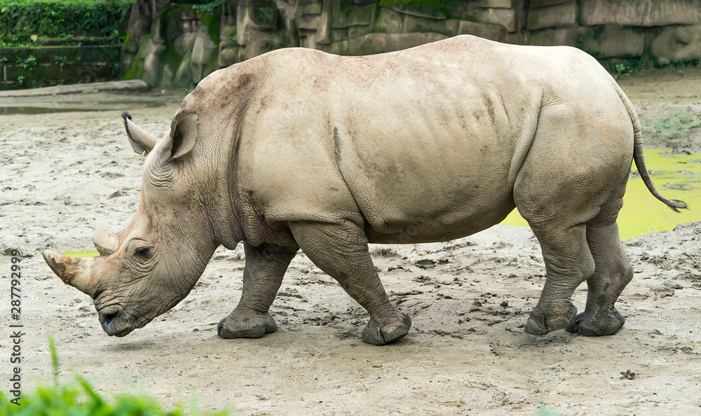 Fototapety, obrazy: White rhinoceros or square-lipped rhinoceros young