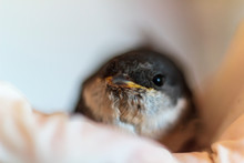 Rescued Baby Swallow