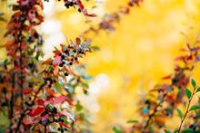 Bearberry Shrub With Autumn Le...
