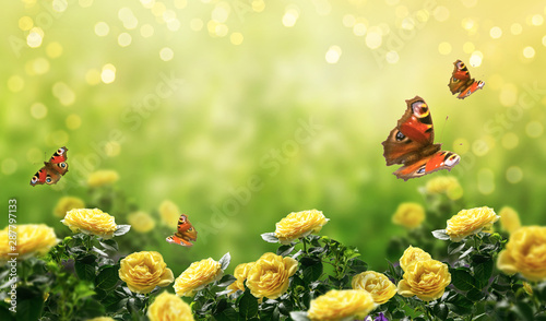 Mysterious spring or summer bright background with many yellow fluttering peacock eye butterflies and blooming fantasy yellow roses flowers blossom and glowing sparkle bokeh