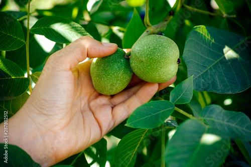 Fototapeta Woman hand picking walnuts from the tree.