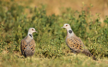 Close Up Of Two European Turtle Doves In Grass