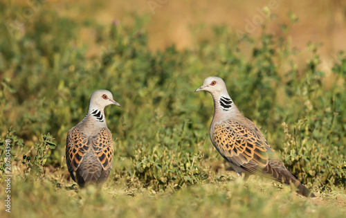 Close up of two European turtle doves in grass Wallpaper Mural
