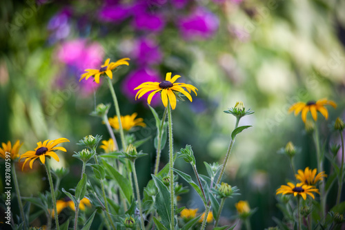 Valokuvatapetti black eyed susan flowers in garden
